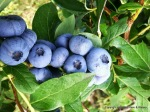 Blue-Sky-Farm-and-Winery-Blueberrys